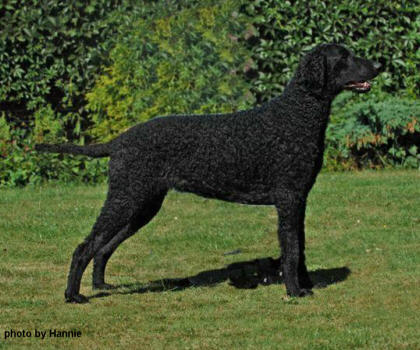 Jazz - Kelsmere Curly Coated Retrievers